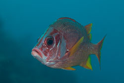 Squirrelfishes and Soldierfishes